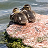 Project 365: August 10 - Ducklings. Maybe a little late in the season to be so young, but aren't they cute?