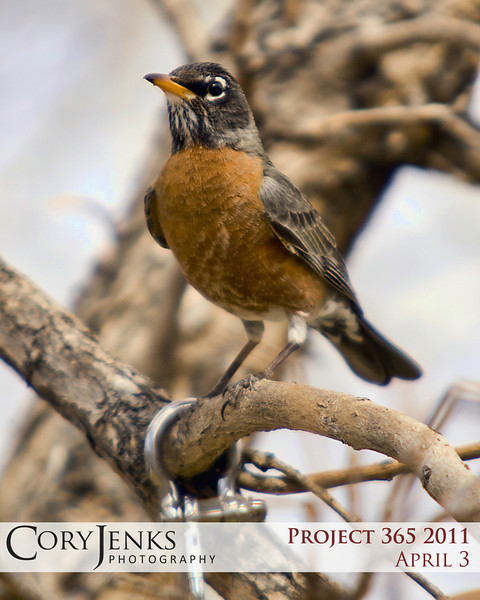 Project 365: April 3 - Spring Songbird - This American Robin is a sure sign of spring, visiting the feeder in the front tree.