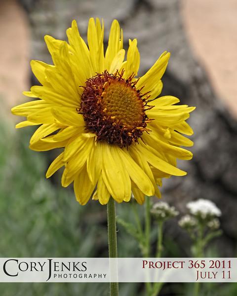 Project 365: July 11 - Wildflower. Simple Colorado wild flower.