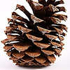 Project 365: March 5 - Cone. A ponderosa pine cone. You know there are actually places you can buy these pine cones online? Go out and collect your stash and start your own internet business today!
