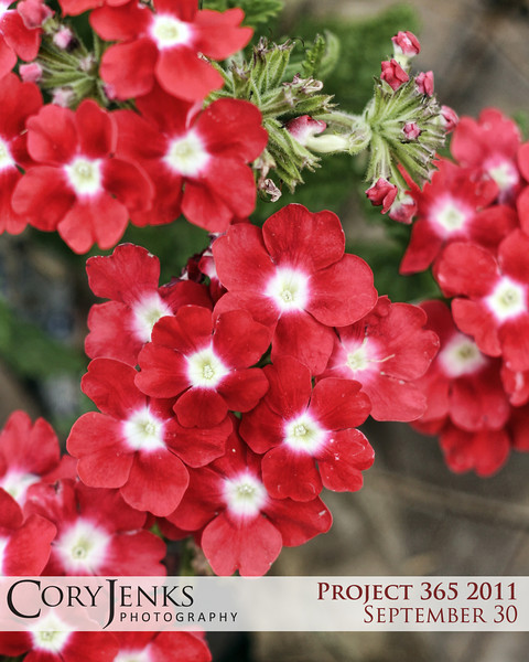 Project 365: September 30 - Red Petals. These stood out screaming in color as autumn slowly takes hold.