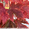 Project 365: October 24 - Silver Maple. One of Fall's top performers, showing off it's bold transitional colors.