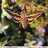 Project 365: September 10 - Fluttering. A humming-bird moth. A fascinating moth that very much resembles the fluttering and movement of a humming bird.