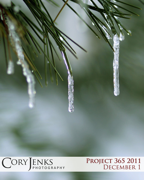 Project 365: December 1 - Icicle Works. Cold weather, snow fall, and evergreens coming together to form beautiful works of nature.