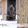 Project 365: December 2 - Northern Flicker. Winter white snow and below freezing temperatures don't stop this flicker from stopping by for a light snack.