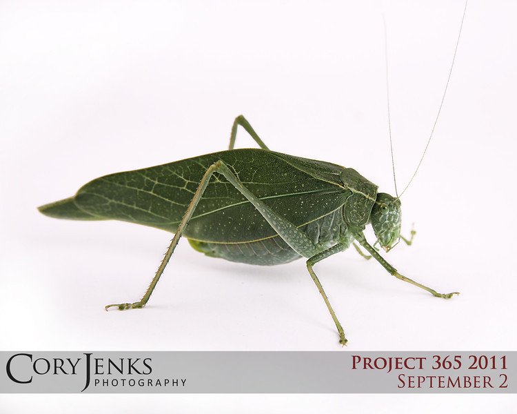 Project 365: September 2 - Leaf Bug. The studio at Cory Jenks Photography has had many creatures pose for photographs; dogs, a snake, a gecko, an inch worm, spiders, a tiny frog, and recently even a caterpillar. But, this katydid was by far the most uncooperative. However, my trigger finger was faster then its legs at least one time. Cute smile too.