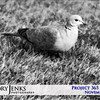 Project 365: November 9 - Morning Dove. The quiet of the Saturday morning was only broken by the soft coo of the ring-neck doves in the front yard.