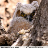 Project 365: April 21 - Peek-A-Boo. This little Great Horned owlet wasn't too sure about the guy with the camera, nor was mother owl in the adjacent tree.