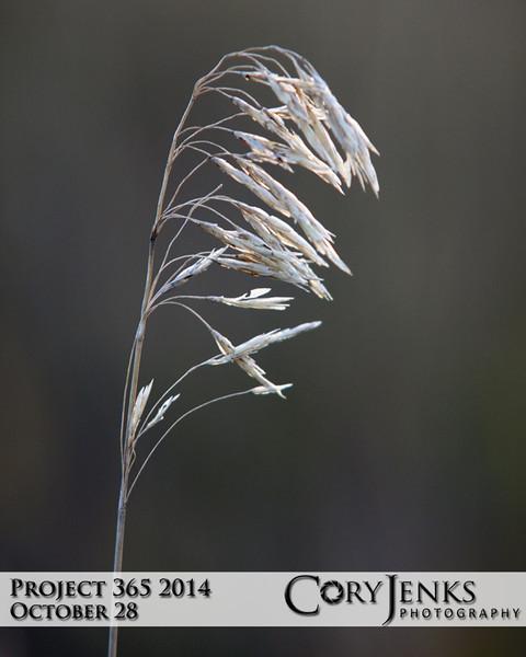 Project 365: October 28 - Tall Fall Grass. Just a simple shot of tall fall grass.