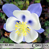 Project 365: June 11 - Aquilegia caerulea. The Colorado Columbine.