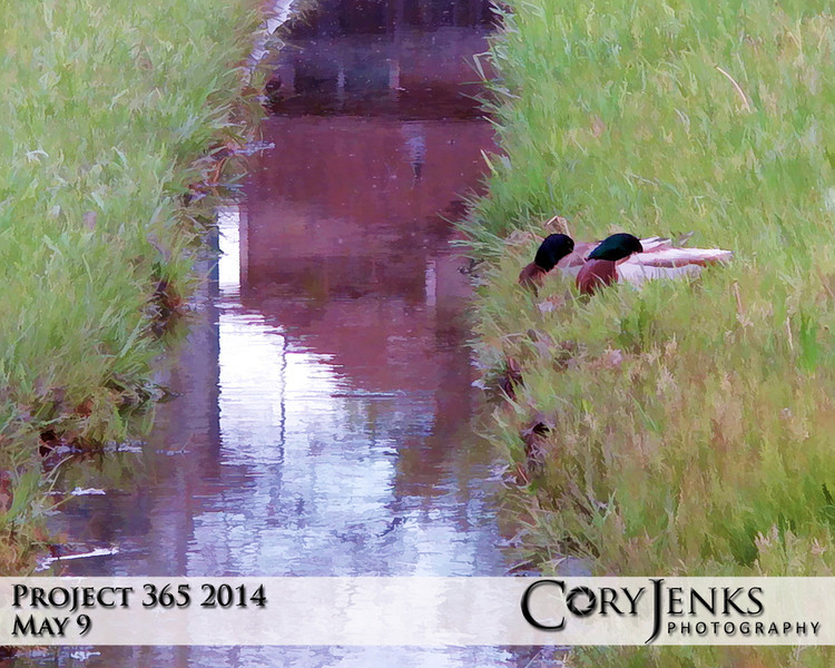 Project 365: May 9 - Duck Dynasty. Two Mallard ducks claiming their own little piece of water front property.