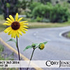 Project 365: August 28 - Roadside Sunshine. You can see beauty in many things. Take this sun flower on the side of the road, just quick a bright spot to help your day along.