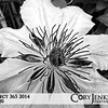 Project 365: May 20 - Colorless. A study in black and white. Still a striking flower even without color.