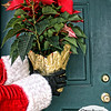 Project 365: December 11 - Santa's Helping Hand 11.<br /> <br /> Santa helps deliver poinsettias to the neighboring towns around the North Pole village to spread holiday cheer,