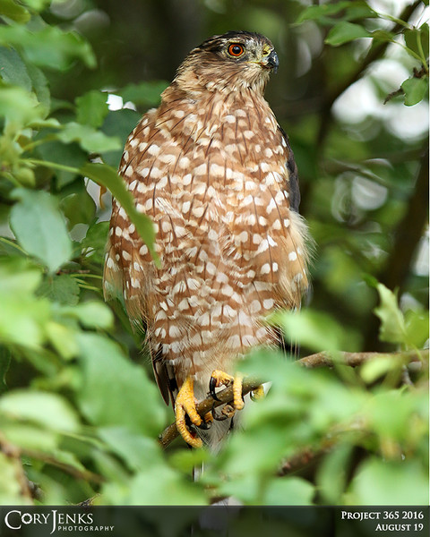Project 365: August 19 - Sharpie. No, not a permanent  marker, but a fast lethal predator. Working on the car early in the morning, the brown blob of a sharp-shinned hawk in the tree caught my eye. A hunter at the front yard bird feeders.
