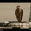 Project 365: July 31 - The Hunter. When the yard becomes quiet because all the birds stop singing and leave, there is only one explanation. The hunter has arrived. This sharp-shinned hawk has found a fertile hunting area,