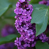 Project 365: May 13 - Syringa vulgaris. The lilac bush is in bloom again. After a year of having no blooms thought this bush was doomed. Come to find out it is a common trait for these plants to skip years of flowering.