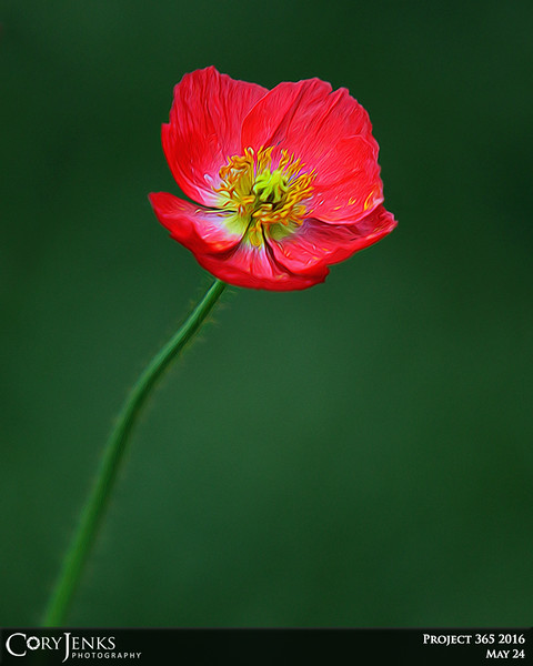 Project 365: May 24 - Icelandic Poppy. A simple little flower holds so much beauty and can help boost inner creativity and inspire imagination.