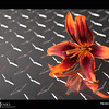 Project 365: August 2 - Metal and Petals. Another from the Lilies Under Light series.