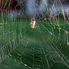 Project 365: September 26 - Orb Weaver. Spectacular web from the little (big) orb weaver spider.