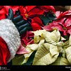 Project 365: December 5 - Santa's Helping Hand #5.<br /> <br /> Santa helps inspect the new crop of North Pole poinsettias.
