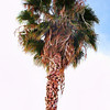 Project 365: August 10 - West Coast Palm. Another quick trip to California for work.