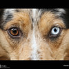 "Project 365: August 5 - Dogs Eyes.<br /> <br /> ""If there are no dogs in Heaven, then when I die I want to go where they went.""<br /> <br /> ~Will Rogers"