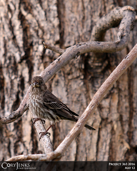 Project 365: May 12 - Hidden in Plain Sight. This little house finch blends into the bark of the catalpa tree almost completely.