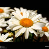 Project 365: June 26 - Daisies. The daisy is a just an easy common flower holding onto timeless simplistic beauty.
