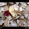 "Project 365: November 5 - Rogue Leaf<br /> <br /> ""Life starts all over again when it gets crisp in the fall.""<br /> <br /> ~ F. Scott Fitzgerald"
