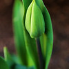 Project 365: April 6 - Surviving<br /> <br /> This little tulip was up early and just survived the recent snow storm and freezing temperatures.; sturdy flower.
