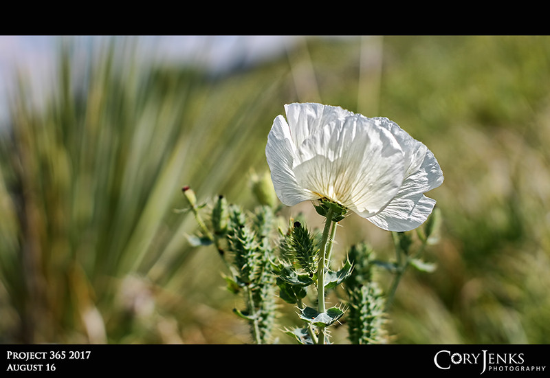 Project 365: August 16 - Prickly Poppy<br /> <br /> After 2784 days of taking a photo, inspiration for the next photo comes from many places. It might come from a flash of white on a hillside when driving home. Photo #2785 in the books!
