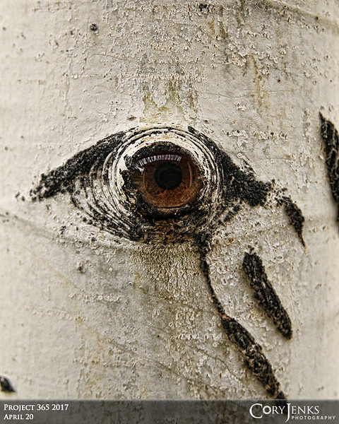 "Project 365: April 20 - Weeping Aspen Eye<br /> <br /> I have done this composite several times over the years and am still drawn to the intriguing anthropomorphic feature of the aspen tree. This ""eye"" appears to be weeping."