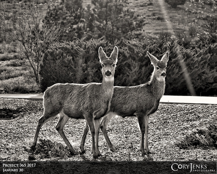Project 365: January 30 - Oh Deer<br /> <br /> A couple of does up along the Colorado foothills. They actually posed for me.