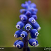 Project 365: April 17 - Hyacinths<br /> <br /> Cool little grape hyacinth gets even cooler the closer you get courtesy of the Sigma macro lens.