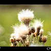 Project 365: September 6 - Fuzzy<br /> <br /> Thought these weeds looked as soft as the down in a pillow.