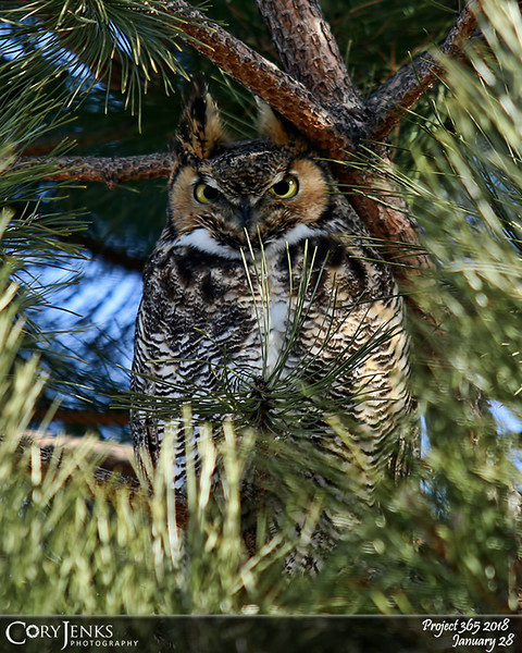 2018 Project 365: January 28 - Great Horned<br /> <br /> When you hear a bunch of crows squawking, its called a mob. And more than likely this mob is heckling their mortal enemy, the great horned owl.
