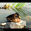 2018 Project 365: July 27 - Nap Time<br /> <br /> A couple ducks relaxing in the morning sun.