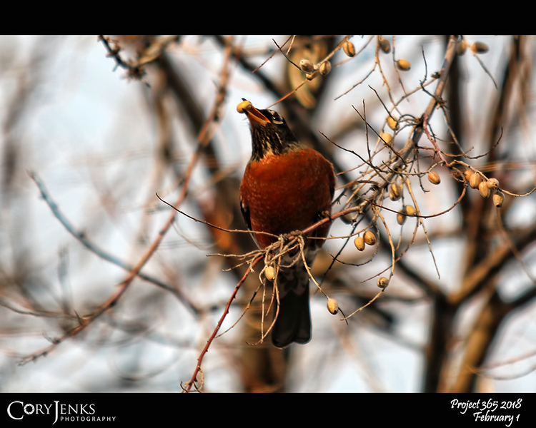 """2018 Project 365: February 1 - Song Bird<br /> <br /> """"A bird doesn't sing because it has an answer, it sings because it has a song.""""<br /> <br /> ~ Maya Angelou"""