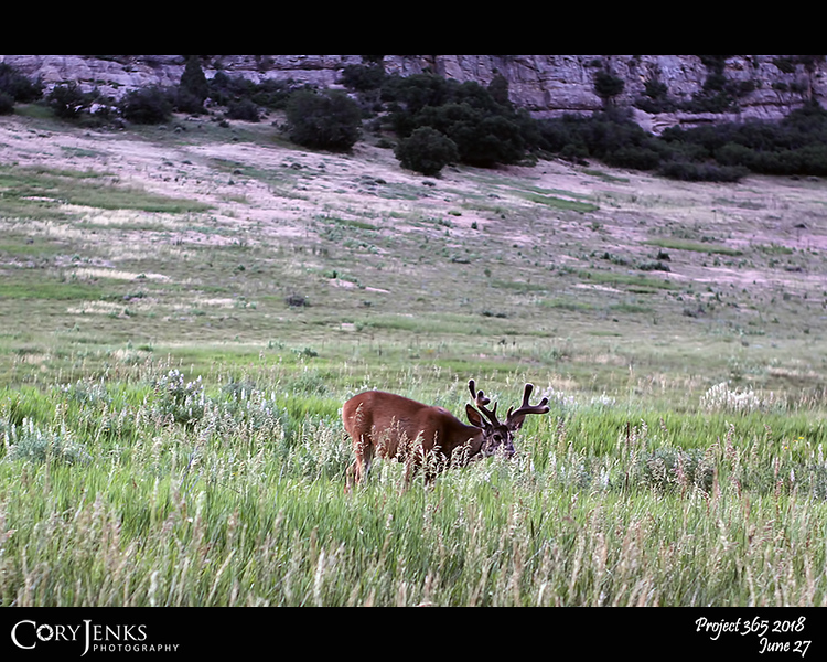 2018 Project 365: June 27 - Young Buck<br /> <br /> This young buck just enjoying a bit of early morning breakfast when some dude stops to take a picture.  Photo taken at 05:25.