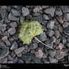 "2018 Project 365: October 28 - Fall Leaf<br /> <br /> ""Anyone who thinks fallen leaves are dead has never watched them dancing on a windy day."" <br /> <br /> ~ Shira Tamir"