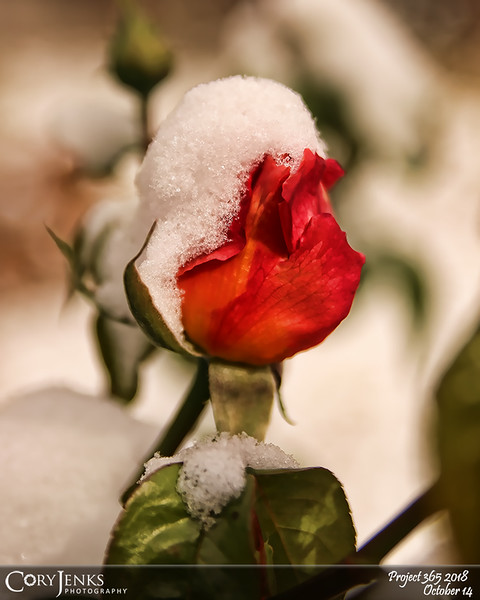 2018 Project 365: October 14 - Blanketed Rose<br /> <br /> A cold front moved in and left a light blanket of snow for us to enjoy,