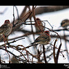 2018 Project 365: November 11 - Finches<br /> <br /> With the snow fall today, all the house finches in the surrounding area were in the yard for lunch at the feeders.