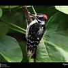 2018 Project 365: July 29 - Woodpecker<br /> <br /> Doing a little work outside I was interrupted with an incessant tapping that took me a while to find the source, but once I did I had to go grab my camera for a picture of the day. Sometimes the idea for a photo is tap, tap, tap, tap, tap, tap, tapped into my head.