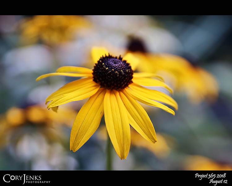 2018 Project 365: August 12 - Rudbeckia hirta<br /> <br /> A simple shot of a brown-eyed Susan.