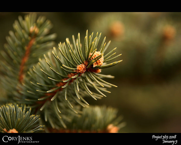 """2018 Project 365: January 5 - Pine<br /> <br /> """"The pine stays green in winter... wisdom in hardship.""""<br /> <br /> ~ Norman Douglas"""