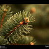 "2018 Project 365: January 5 - Pine<br /> <br /> ""The pine stays green in winter... wisdom in hardship.""<br /> <br /> ~ Norman Douglas"