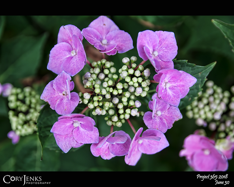 2018 Project 365: June 30 - Hydrangeas<br /> <br /> Dragoons, I tell you the white hydrangeas<br />      turn rust and go soon.<br /> Already mid September a line of brown runs<br />      over them.<br /> One sunset after another tracks the faces, the<br />      petals.<br /> Waiting, they look over the fence for what<br />      way they go.<br /> <br /> ~ Carl Sandburg
