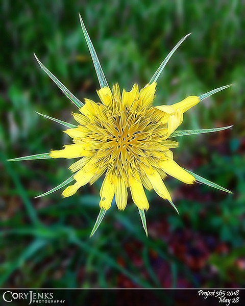 2018 Project 365: May 28 - Sunburst<br /> <br /> A nice Colorado morning doing a little fishing. Didn't catch any fish but did catch a shot of this cool wild flower.