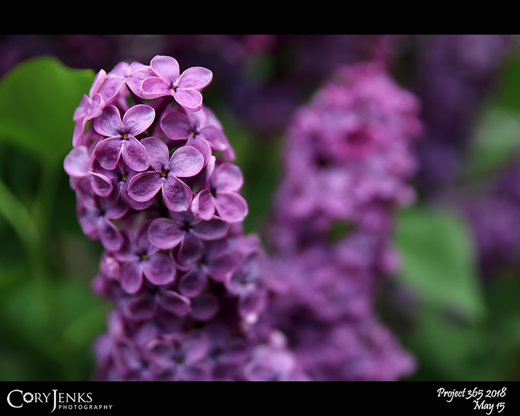 "2018 Project 365: May 15 - Lilac Time<br /> <br /> ""There's always been that thing<br /> That makes you want to sing<br /> To the beat of the heart<br /> Of the world<br /> <br /> I'm all for love<br /> And that's the truth now baby<br /> Love for all""<br /> <br /> ~ The Lilac Time"